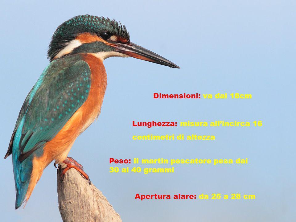Dimensioni: va dai 18cm Lunghezza: misura allincirca 16 centimetri di altezza Peso: Il martin pescatore pesa dai 30 ai 40 grammi Apertura alare: da 25