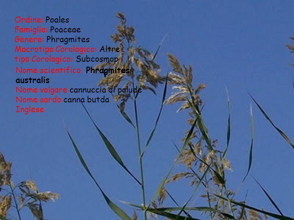 Ordine: Poales Famiglia: Poaceae Genere: Phragmites Macrotipo Corologico: Altre tipo Corologico: Subcosmop Nome scientifico Phragmites australis Nome