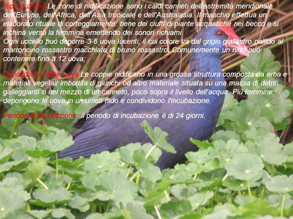 Riproduzione:Le zone di nidificazione sono i caldi canneti dell estremità meridionale dell Europa, dell Africa, dell Asia tropicale e dell Australasia.
