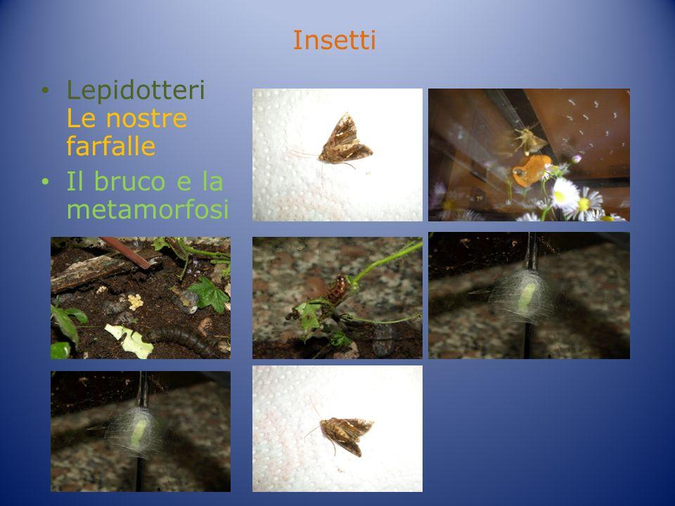 Insetti Lepidotteri Le nostre farfalle Il bruco e la metamorfosi