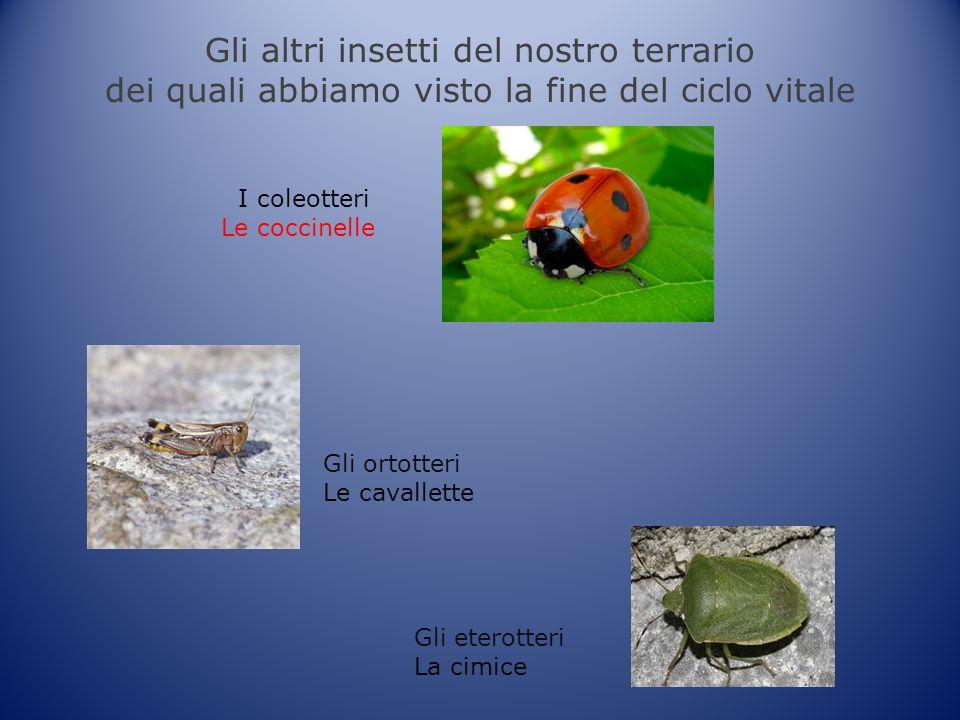 Gli altri insetti del nostro terrario dei quali abbiamo visto la fine del ciclo vitale I coleotteri Le coccinelle Gli ortotteri Le cavallette Gli eterotteri La cimice