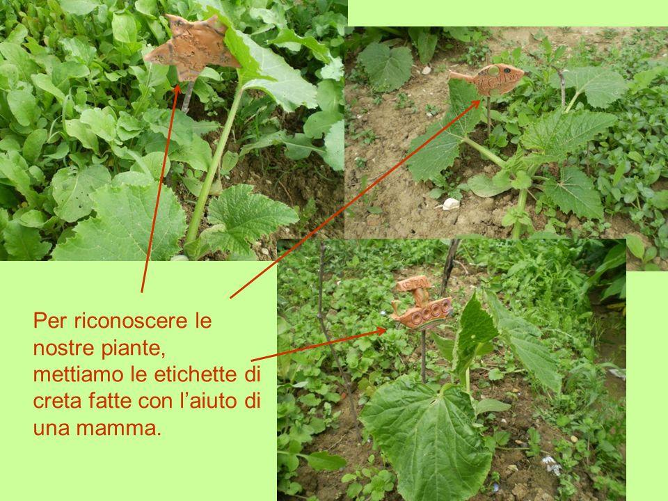 Per riconoscere le nostre piante, mettiamo le etichette di creta fatte con laiuto di una mamma.