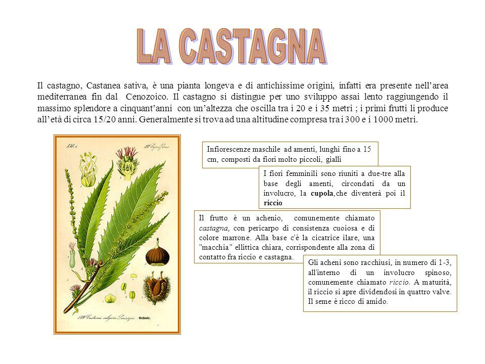 Il castagno, Castanea sativa, è una pianta longeva e di antichissime origini, infatti era presente nellarea mediterranea fin dal Cenozoico.