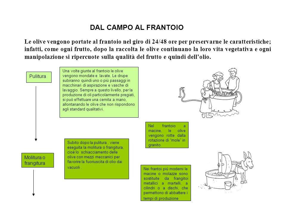 DAL CAMPO AL FRANTOIO Le olive vengono portate al frantoio nel giro di 24/48 ore per preservarne le caratteristiche; infatti, come ogni frutto, dopo l