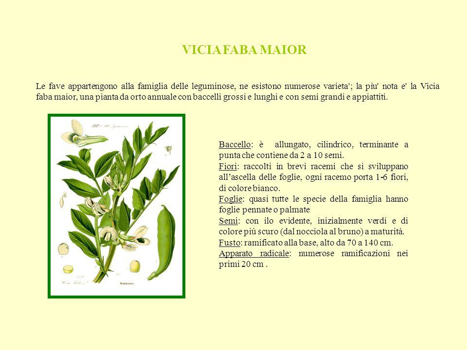 VICIA FABA MAIOR Le fave appartengono alla famiglia delle leguminose, ne esistono numerose varieta ; la piu nota e la Vicia faba maior, una pianta da orto annuale con baccelli grossi e lunghi e con semi grandi e appiattiti.