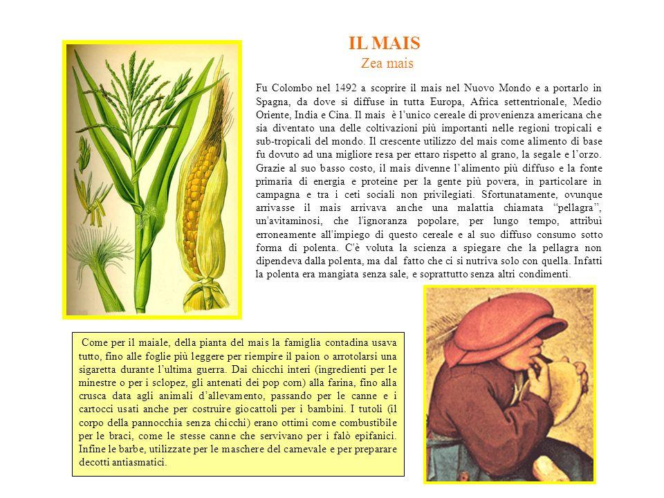 IL MAIS Zea mais Fu Colombo nel 1492 a scoprire il mais nel Nuovo Mondo e a portarlo in Spagna, da dove si diffuse in tutta Europa, Africa settentrionale, Medio Oriente, India e Cina.