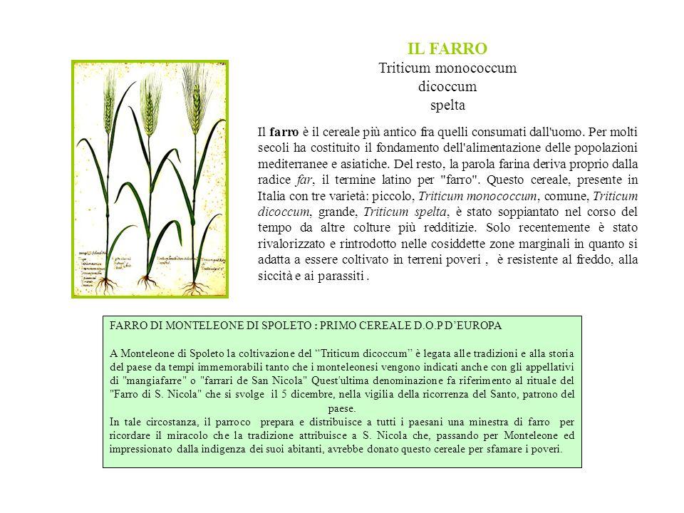 IL FARRO Triticum monococcum dicoccum spelta Il farro è il cereale più antico fra quelli consumati dall uomo.