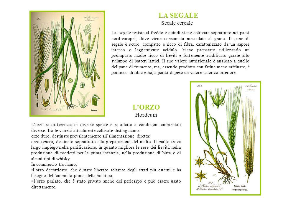 LA SEGALE Secale cereale La segale resiste al freddo e quindi viene coltivata soprattutto nei paesi nord-europei, dove viene consumata mescolata al grano.