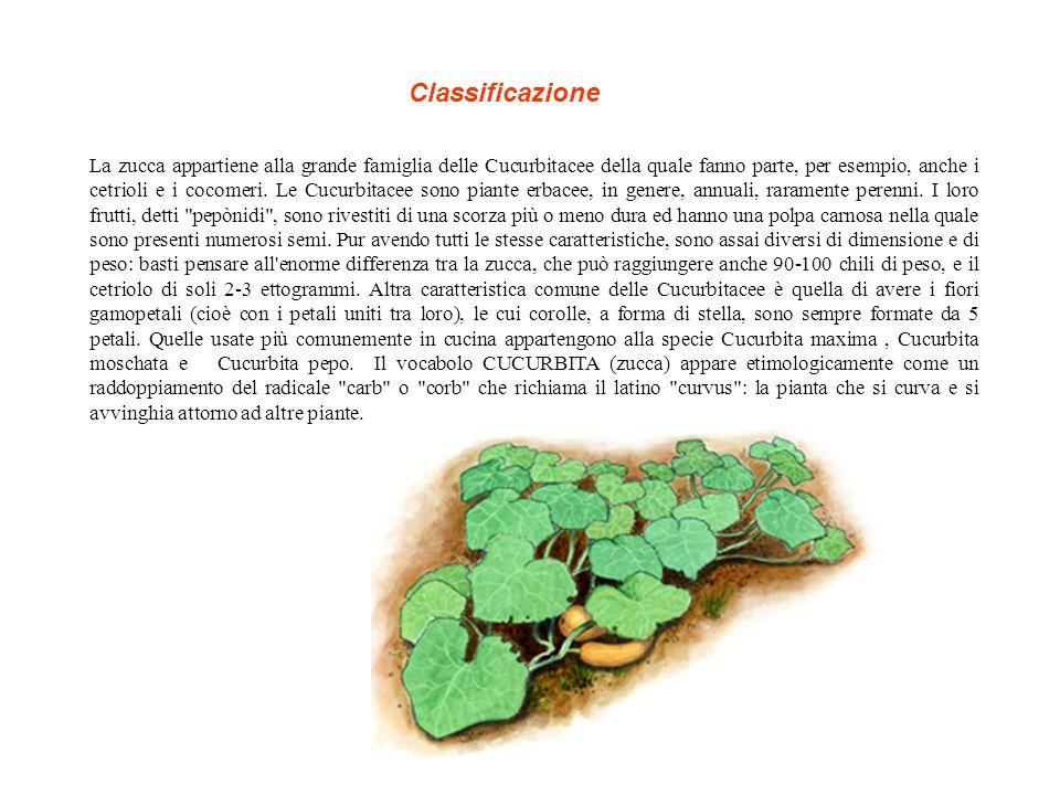 La zucca appartiene alla grande famiglia delle Cucurbitacee della quale fanno parte, per esempio, anche i cetrioli e i cocomeri.