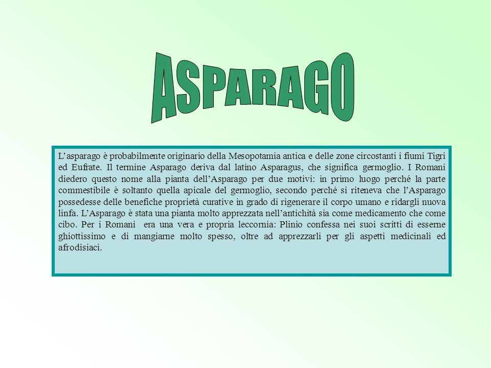 Lasparago è probabilmente originario della Mesopotamia antica e delle zone circostanti i fiumi Tigri ed Eufrate. Il termine Asparago deriva dal latino