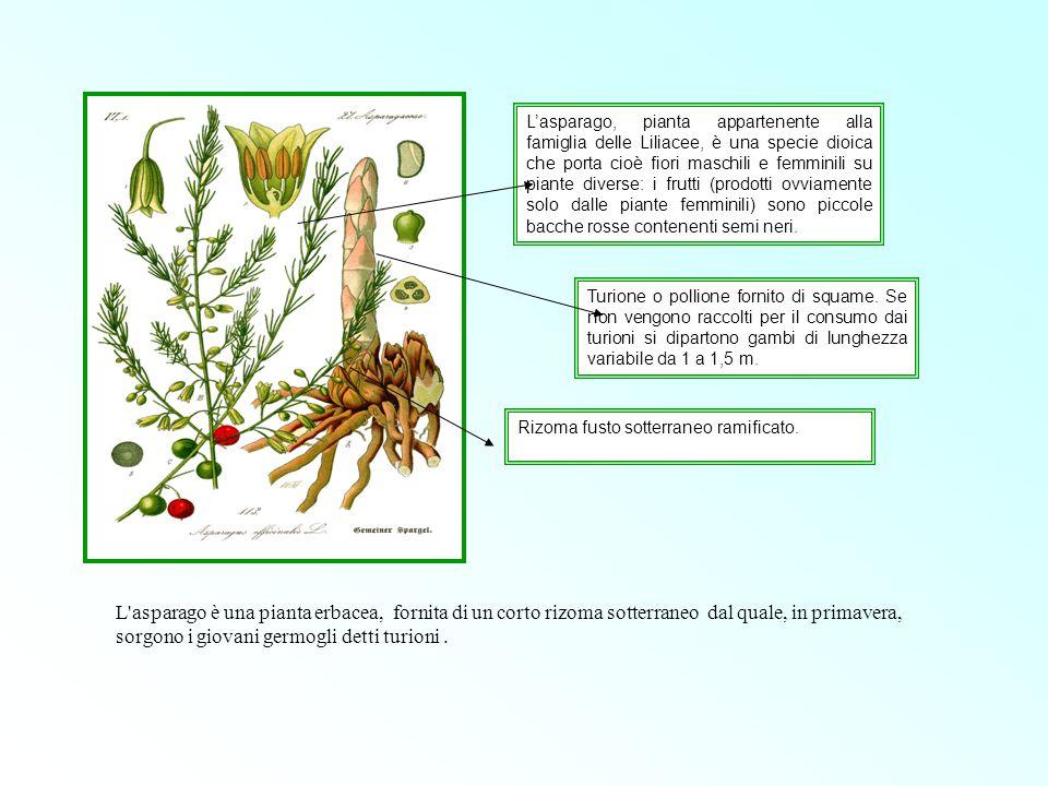 Lasparago, pianta appartenente alla famiglia delle Liliacee, è una specie dioica che porta cioè fiori maschili e femminili su piante diverse: i frutti
