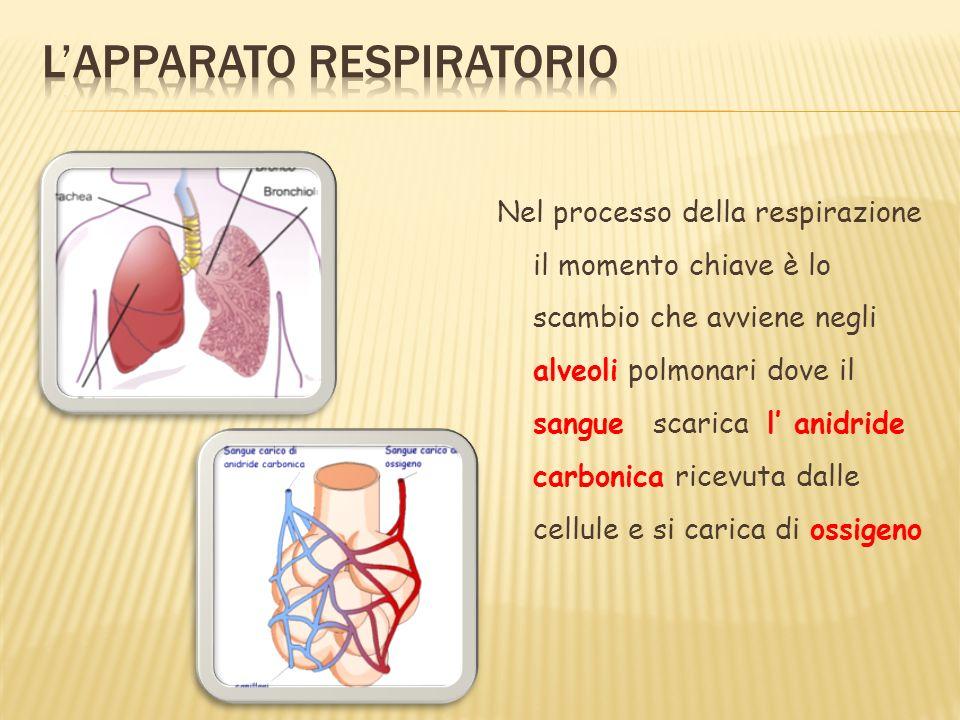 Nel processo della respirazione il momento chiave è lo scambio che avviene negli alveoli polmonari dove il sangue scarica l anidride carbonica ricevut