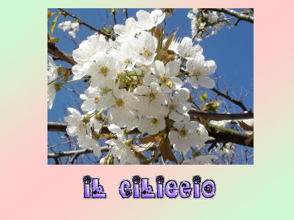 A Lari si festeggiano le ciliegie con la Sagra delle ciliegie, nata nel 1957 ed oggi una delle più rinomate manifestazioni della Toscana.