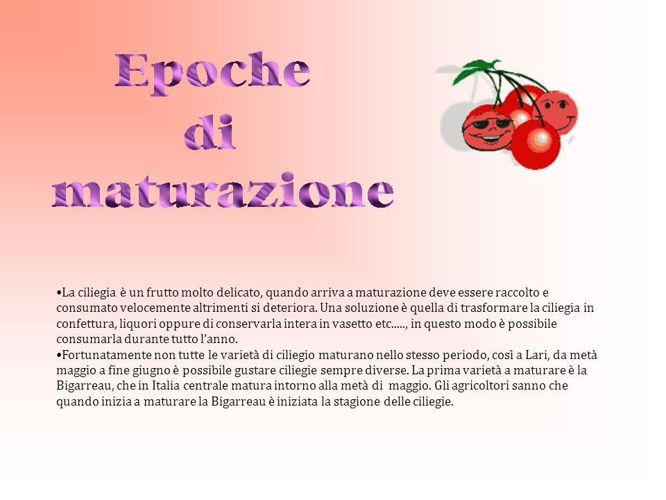 La ciliegia è un frutto molto delicato, quando arriva a maturazione deve essere raccolto e consumato velocemente altrimenti si deteriora.