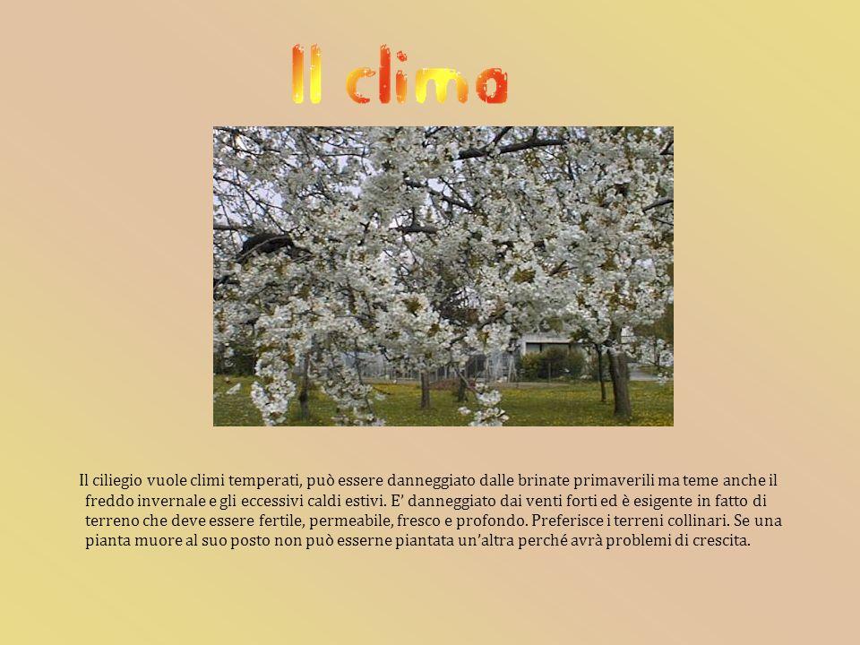 Il ciliegio vuole climi temperati, può essere danneggiato dalle brinate primaverili ma teme anche il freddo invernale e gli eccessivi caldi estivi.