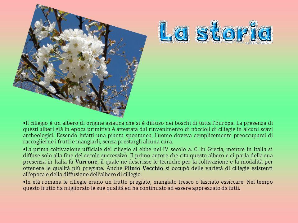 Il ciliegio è un albero di origine asiatica che si è diffuso nei boschi di tutta lEuropa.