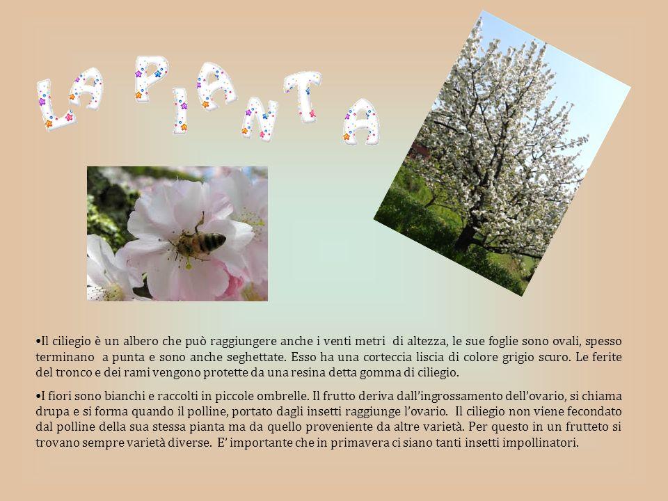Il ciliegio è un albero che può raggiungere anche i venti metri di altezza, le sue foglie sono ovali, spesso terminano a punta e sono anche seghettate.