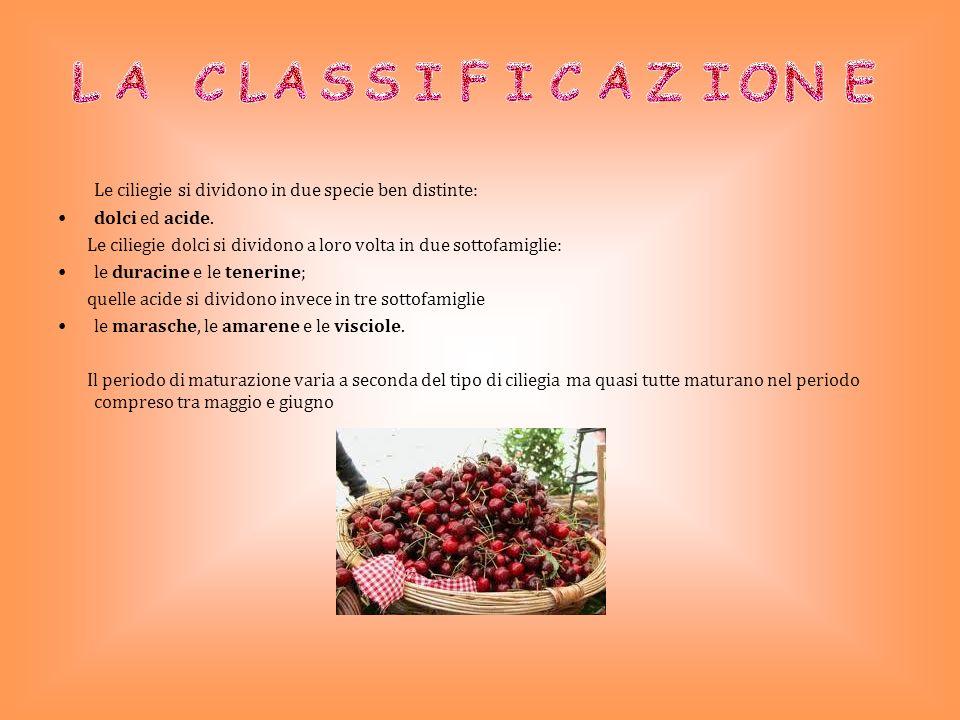 Nella zona di Lari la coltivazione del ciliegio è molto diffusa.