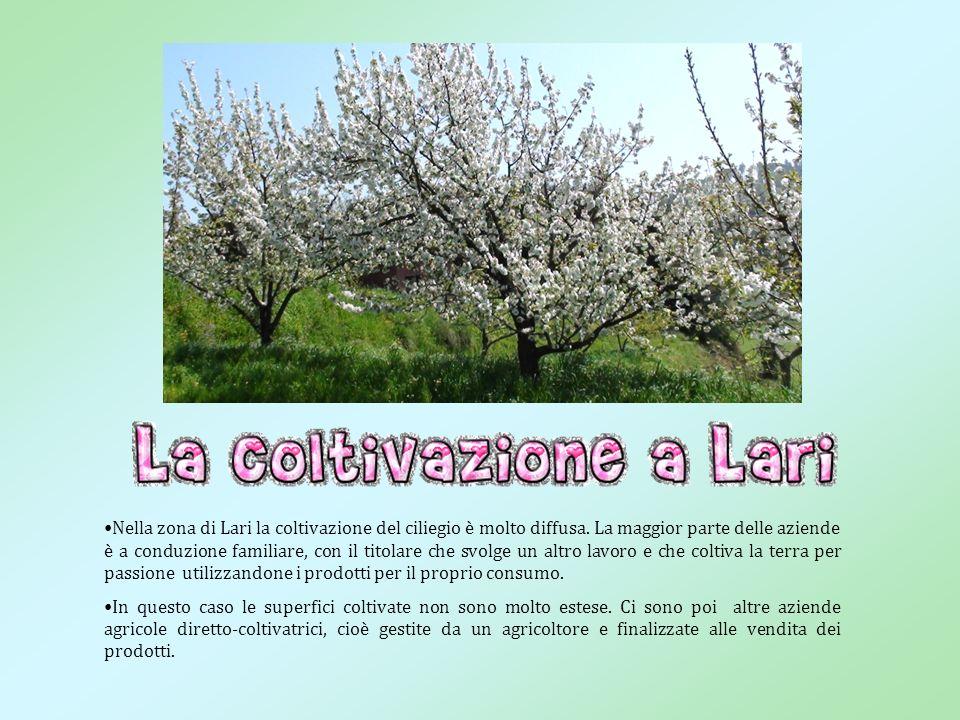 Nella provincia di Pisa esistono delle varietà tipiche di ciliegio, legate alla tradizione culturale e agricola del luogo.