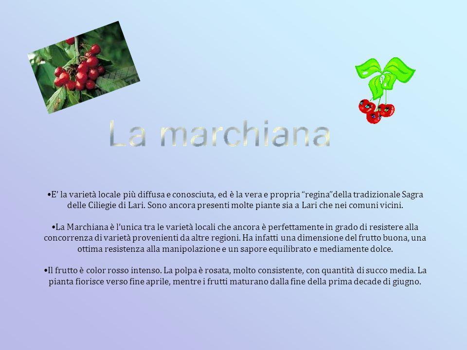 Lari con altri comuni ha formato una associazione tra i paesi in cui si ha la maggiore produzione di ciliegie.