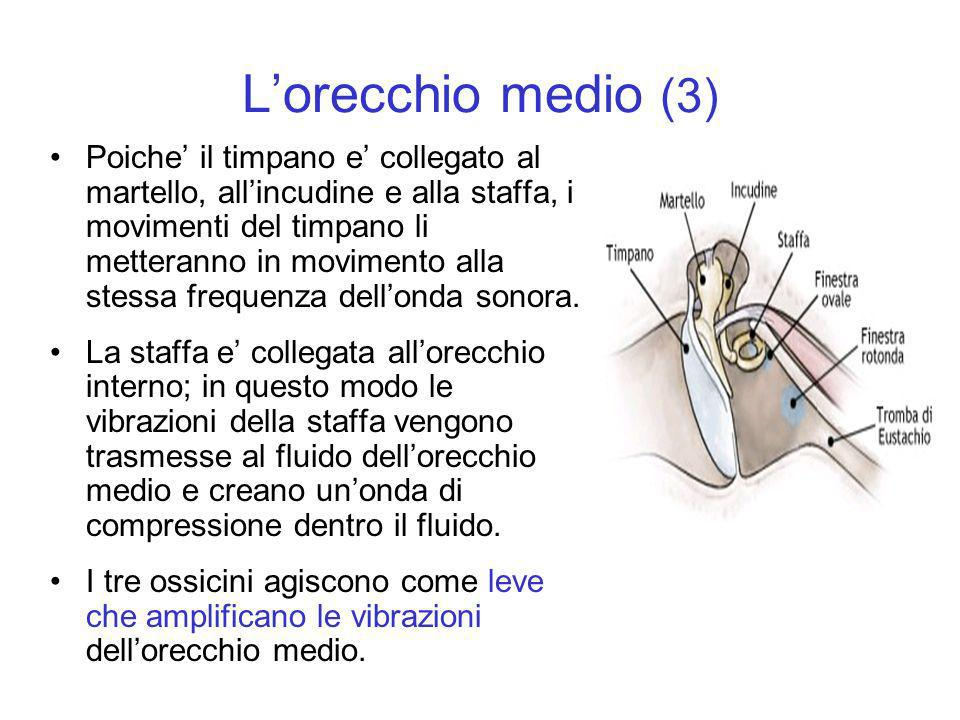 Lorecchio medio (3) Poiche il timpano e collegato al martello, allincudine e alla staffa, i movimenti del timpano li metteranno in movimento alla stes