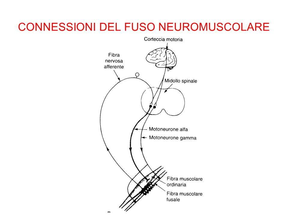 CONNESSIONI DEL FUSO NEUROMUSCOLARE
