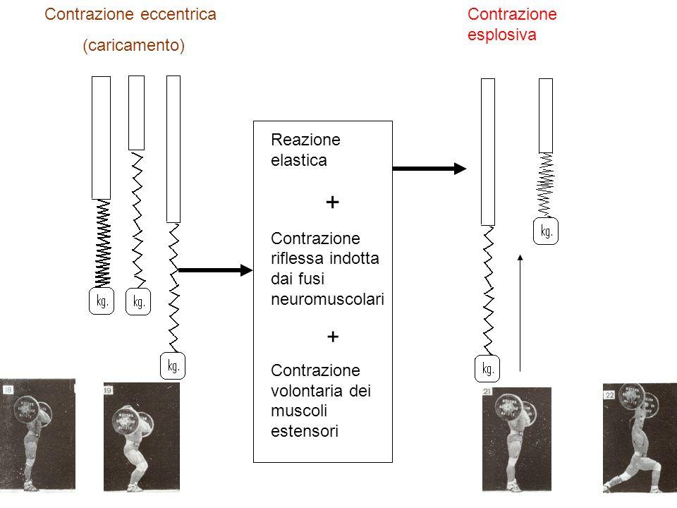 Reazione elastica + Contrazione riflessa indotta dai fusi neuromuscolari + Contrazione volontaria dei muscoli estensori Contrazione eccentrica (caricamento) Contrazione esplosiva