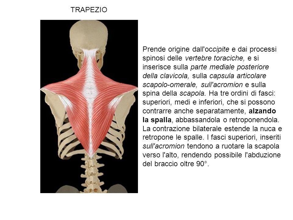 TRAPEZIO Prende origine dall occipite e dai processi spinosi delle vertebre toraciche, e si inserisce sulla parte mediale posteriore della clavicola, sulla capsula articolare scapolo-omerale, sull acromion e sulla spina della scapola.