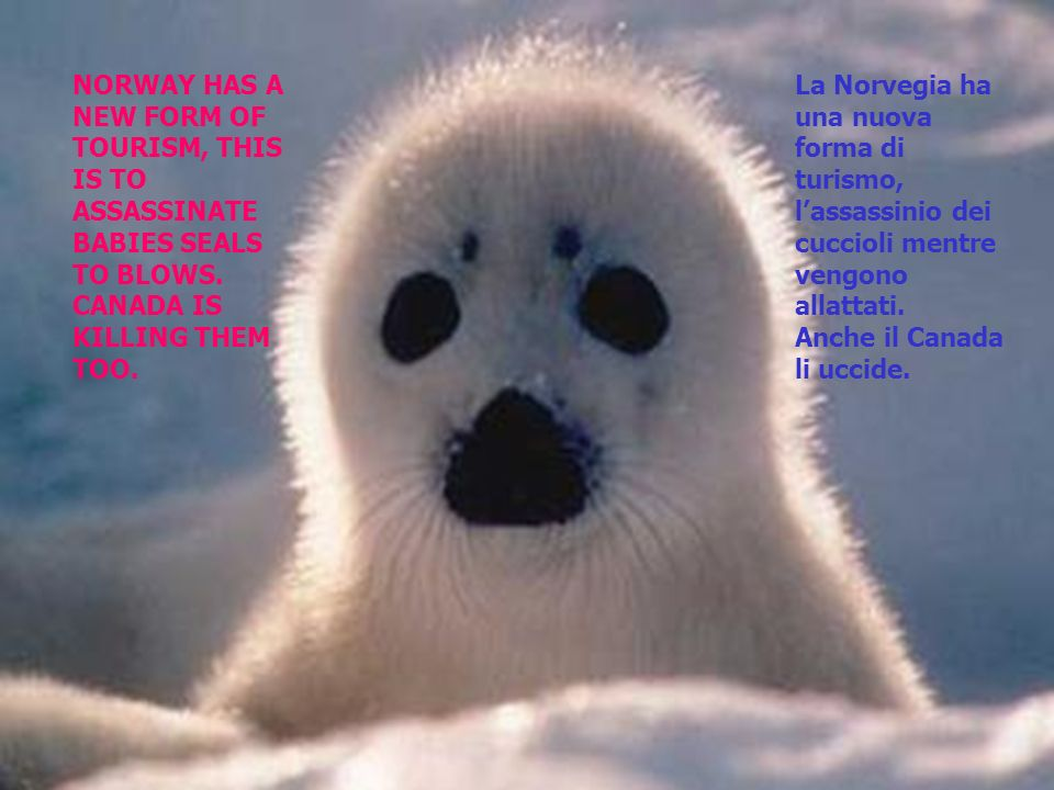 NORWAY HAS A NEW FORM OF TOURISM, THIS IS TO ASSASSINATE BABIES SEALS TO BLOWS.