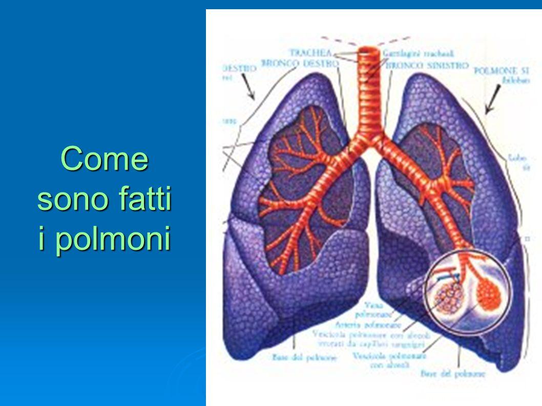 Come sono fatti i polmoni