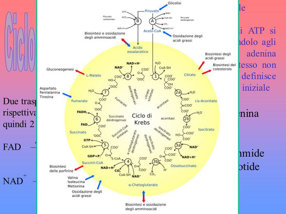 · Avviene nella matrice mitocondriale · Non necessita di ossigeno · Si producono poche molecole di ATP si toglie idrogeno dal glucosio, donandolo agli