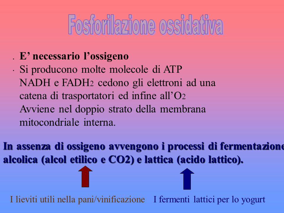 · E necessario lossigeno Si producono molte molecole di ATP NADH e FADH 2 cedono gli elettroni ad una catena di trasportatori ed infine allO 2 Avviene