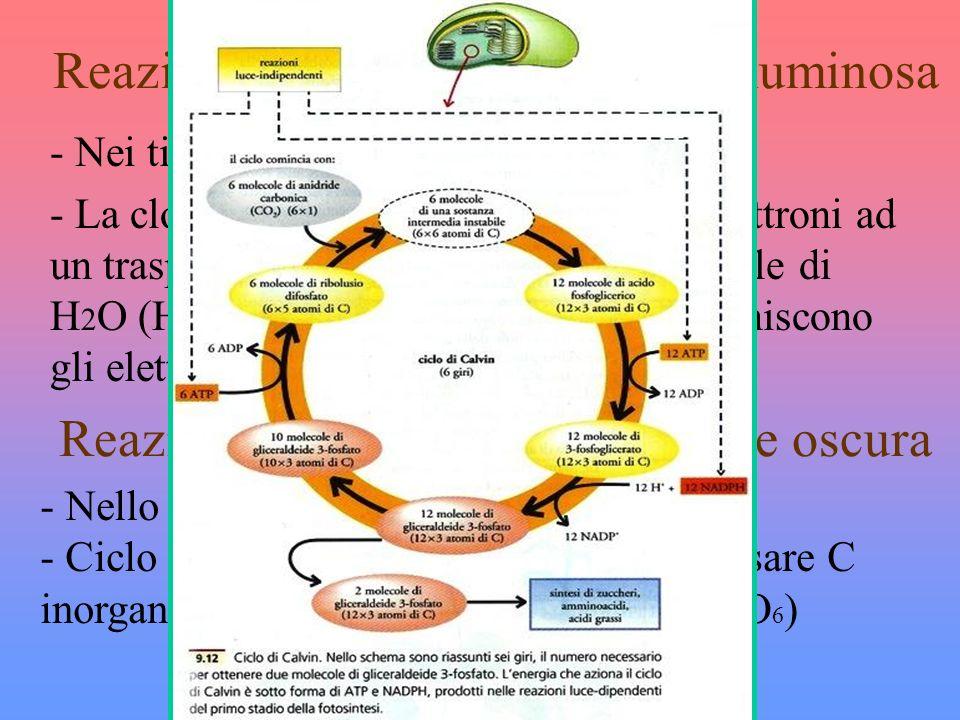 Reazione luce dipendenti o fase luminosa - Nei tilacoidi - La clorofilla eccitata dalla luce cede elettroni ad un trasportatore NADP, scindono molecol