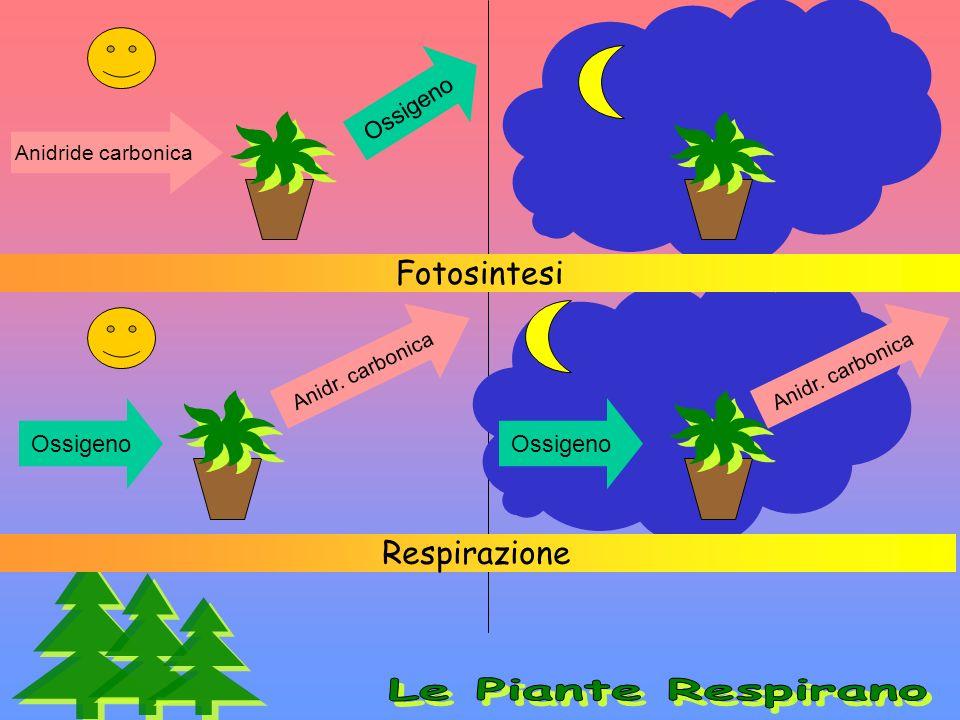 Fotosintesi Respirazione Anidride carbonica Ossigeno Anidr. carbonica Ossigeno Anidr. carbonica Ossigeno