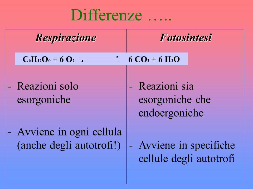 Differenze ….. Respirazione -Reazioni solo esorgoniche -Avviene in ogni cellula (anche degli autotrofi!)Fotosintesi -Reazioni sia esorgoniche che endo