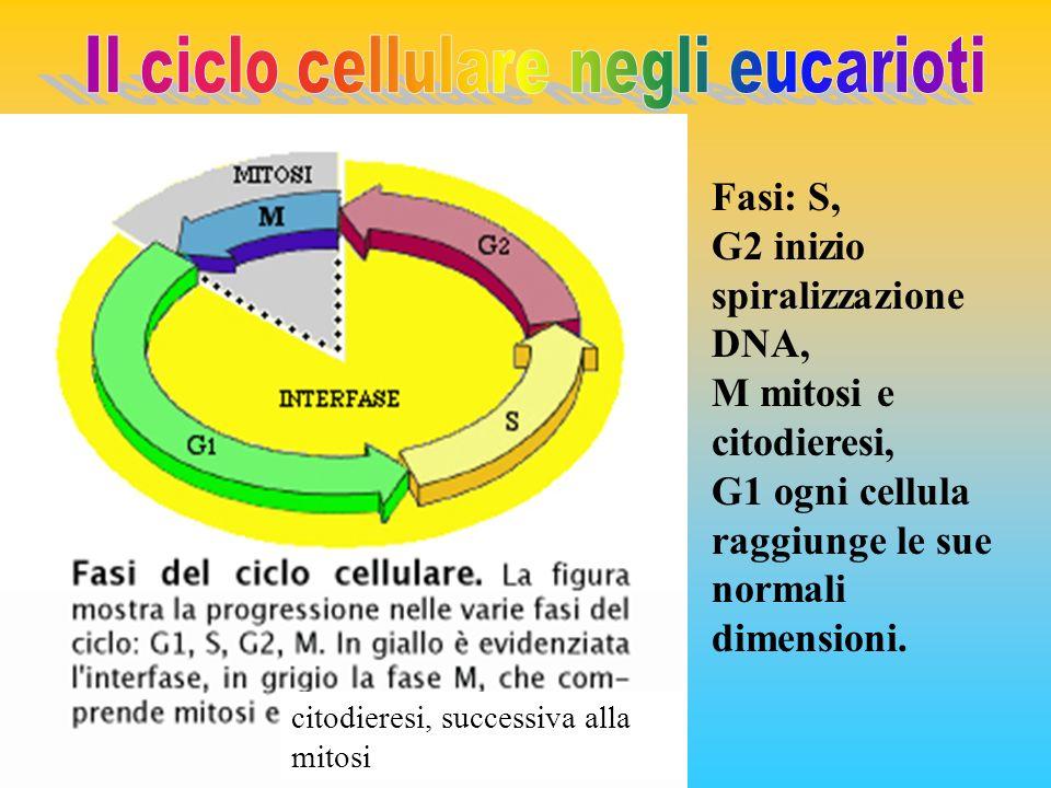 citodieresi, successiva alla mitosi Fasi: S, G2 inizio spiralizzazione DNA, M mitosi e citodieresi, G1 ogni cellula raggiunge le sue normali dimension