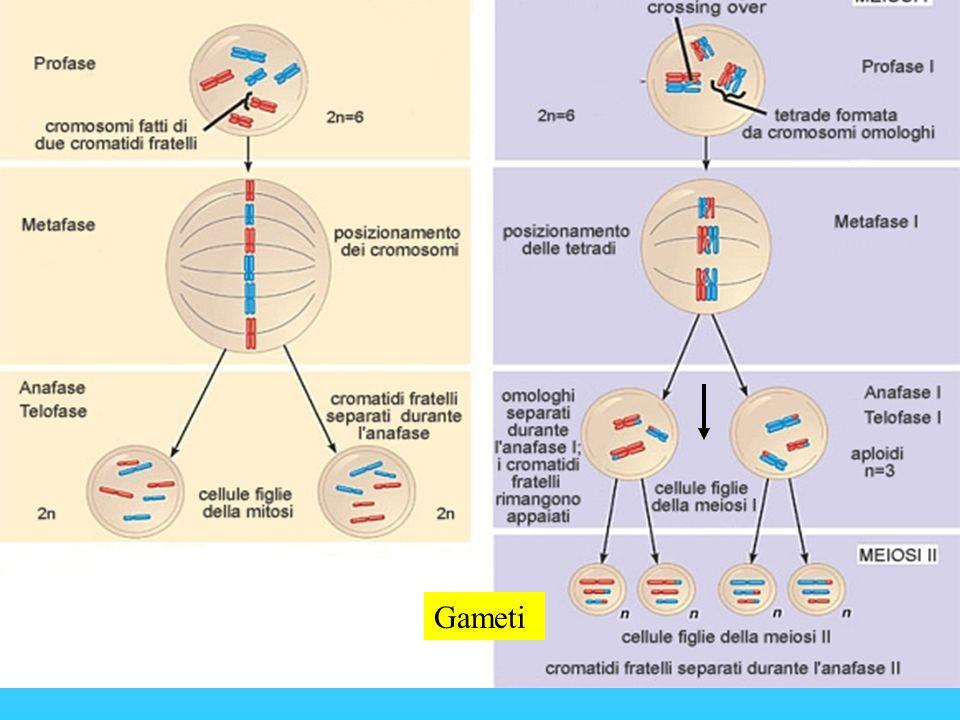MITOSI MEIOSI (formata da 2 divisioni succ.) Due cellule figlie identiche geneticamente alla cellula madre Quattro cellule figlie con corredo cromosomico dimezzato (aploidi) Continuità genetica Variabilità genetica (crossing over) Cellule madri aploidi e diploidi Cellule madri solo diploidi