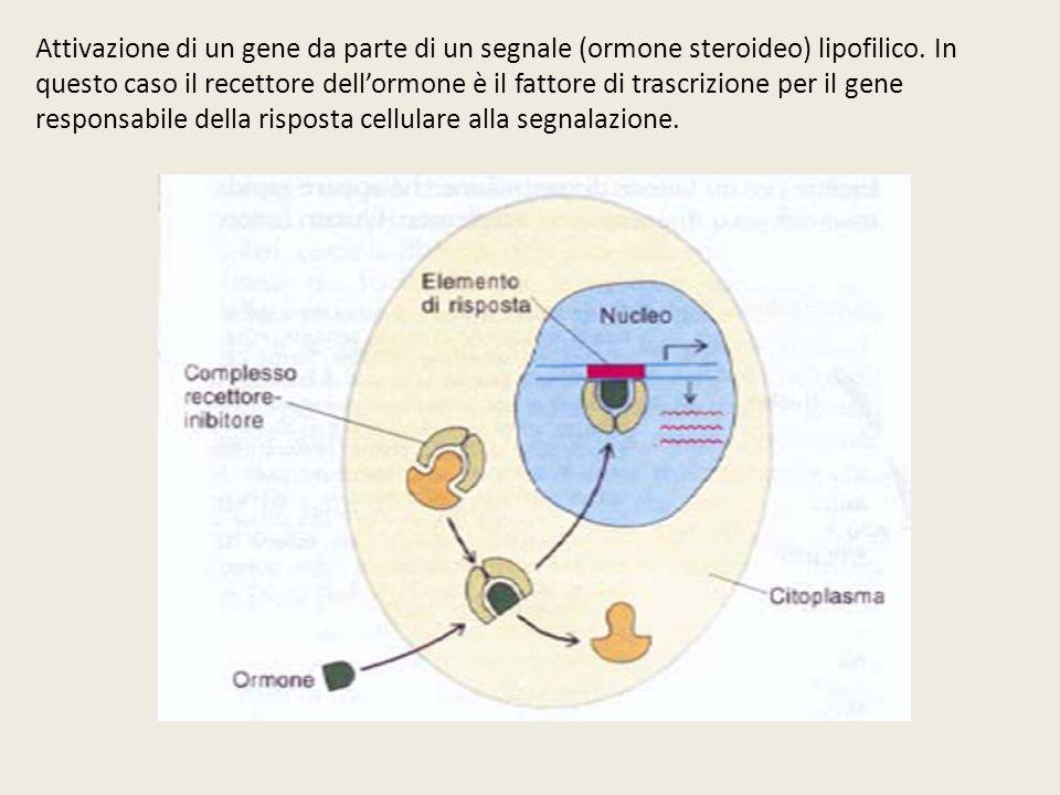 Attivazione di un gene da parte di un segnale (ormone steroideo) lipofilico. In questo caso il recettore dellormone è il fattore di trascrizione per i
