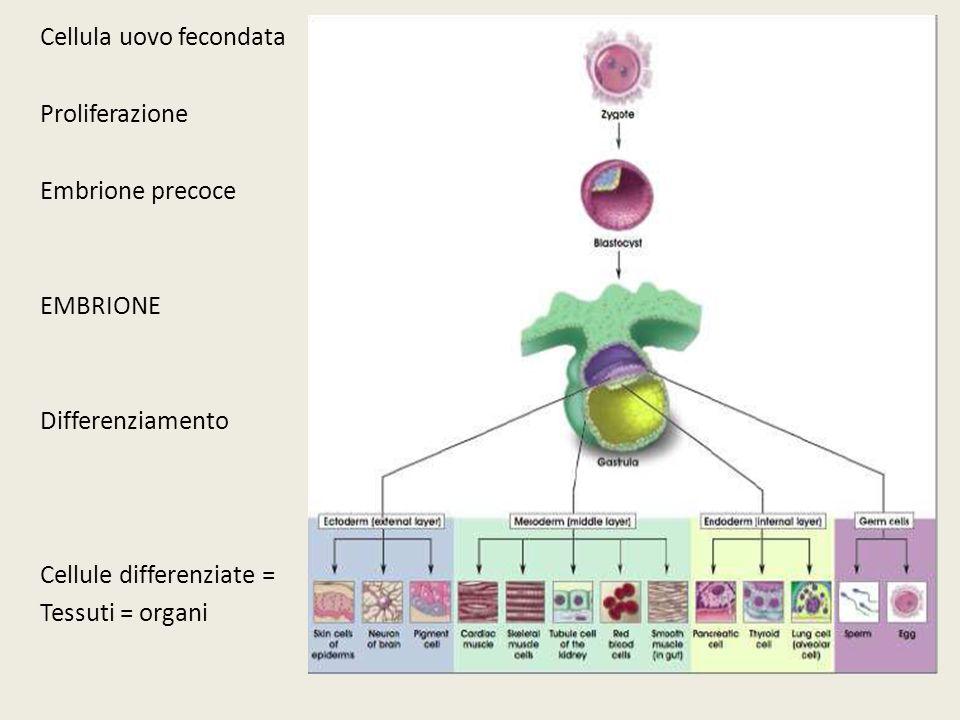 Cellula uovo fecondata Proliferazione Embrione precoce EMBRIONE Differenziamento Cellule differenziate = Tessuti = organi