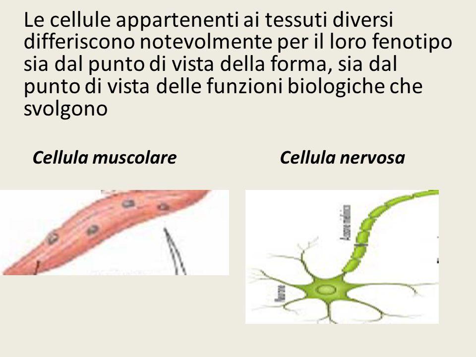 Le cellule appartenenti ai tessuti diversi differiscono notevolmente per il loro fenotipo sia dal punto di vista della forma, sia dal punto di vista d
