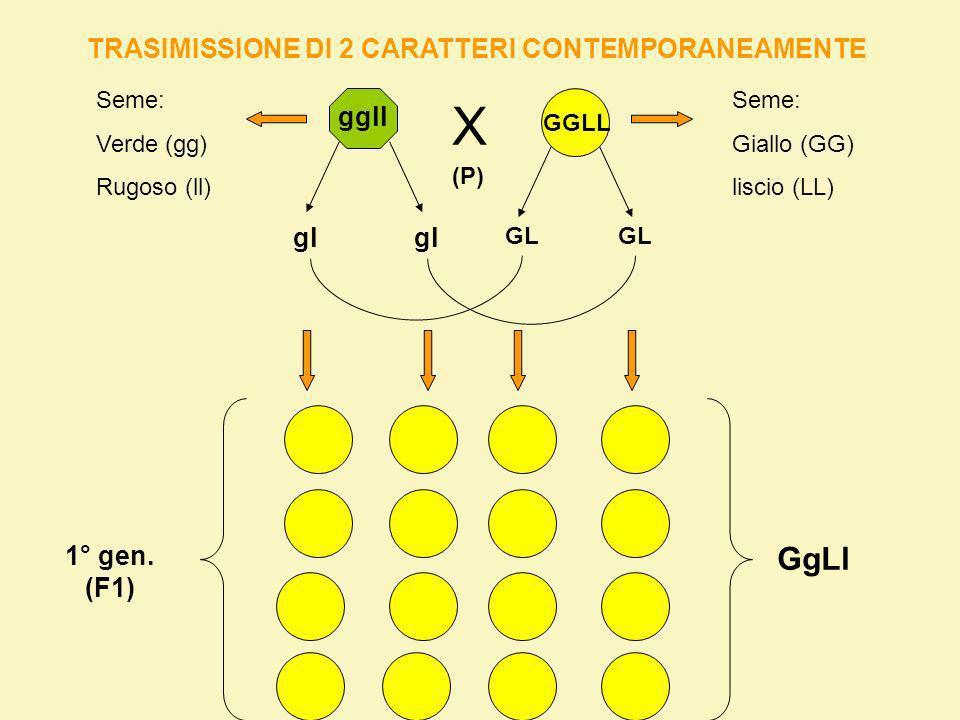 2° GENERAZIONE (F2) GgLl X GL GlgLgl GL Gl gL gl GGLLGGLlGgLLGgLl GGLlGGllGgLlGgll GgLLGgLlggLLggLl GgLlGgllggLlggll 9/16 gialli e lisci 3/16 verdi e lisci 3/16 gialli e rugosi 1/16 verde e rugoso