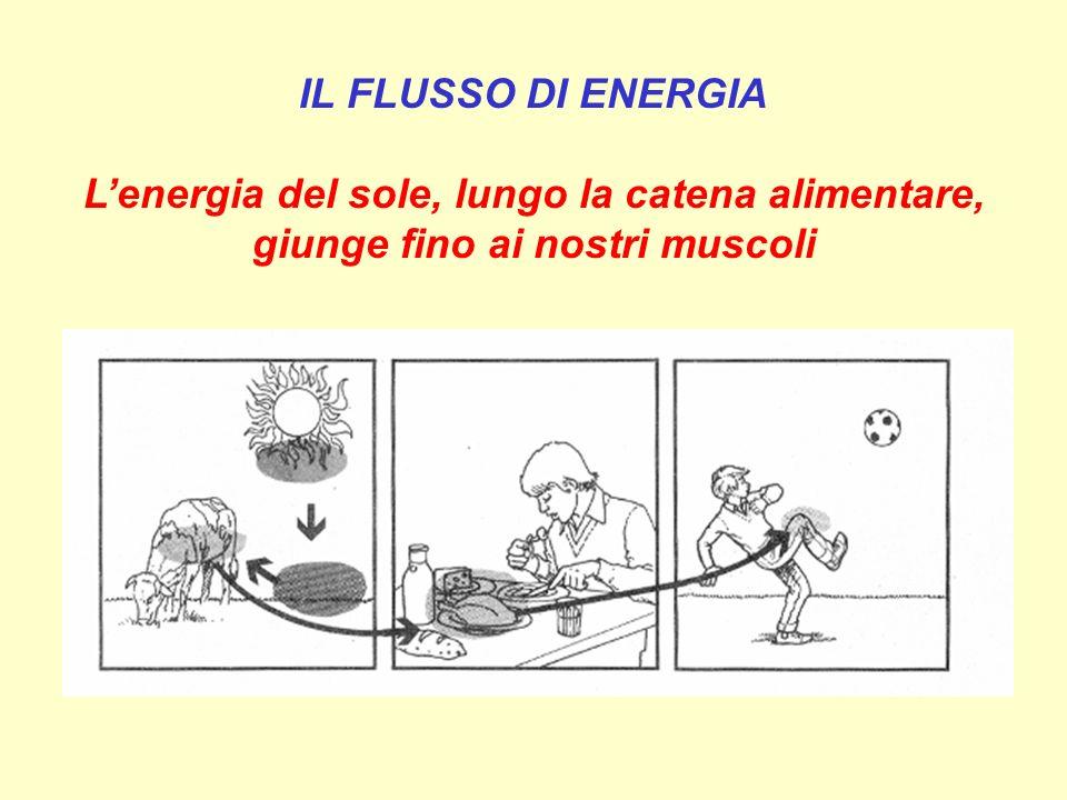IL FLUSSO DI ENERGIA Lenergia del sole, lungo la catena alimentare, giunge fino ai nostri muscoli