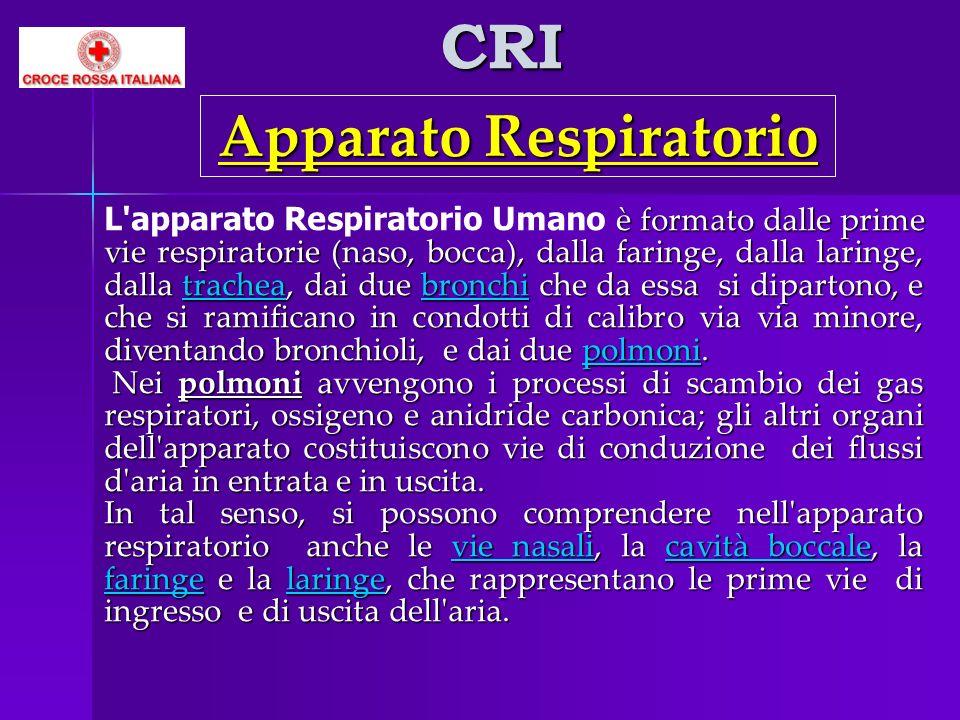 CRI è formato dalle prime vie respiratorie (naso, bocca), dalla faringe, dalla laringe, dalla trachea, dai due bronchi che da essa si dipartono, e che