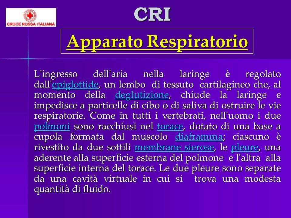 CRI L'ingresso dell'aria nella laringe è regolato dall'epiglottide, un lembo di tessuto cartilagineo che, al momento della deglutizione, chiude la lar