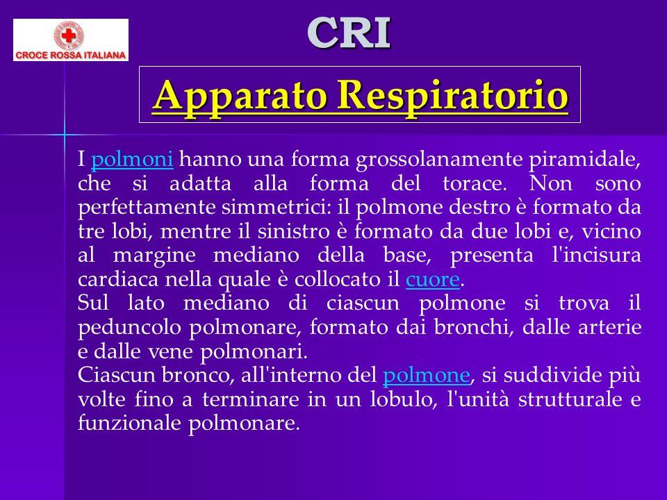 CRI I polmoni hanno una forma grossolanamente piramidale, che si adatta alla forma del torace. Non sono perfettamente simmetrici: il polmone destro è