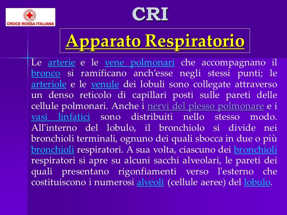 CRI nervi del plesso polmonare Le arterie e le vene polmonari che accompagnano il bronco si ramificano anchesse negli stessi punti; le arteriole e le