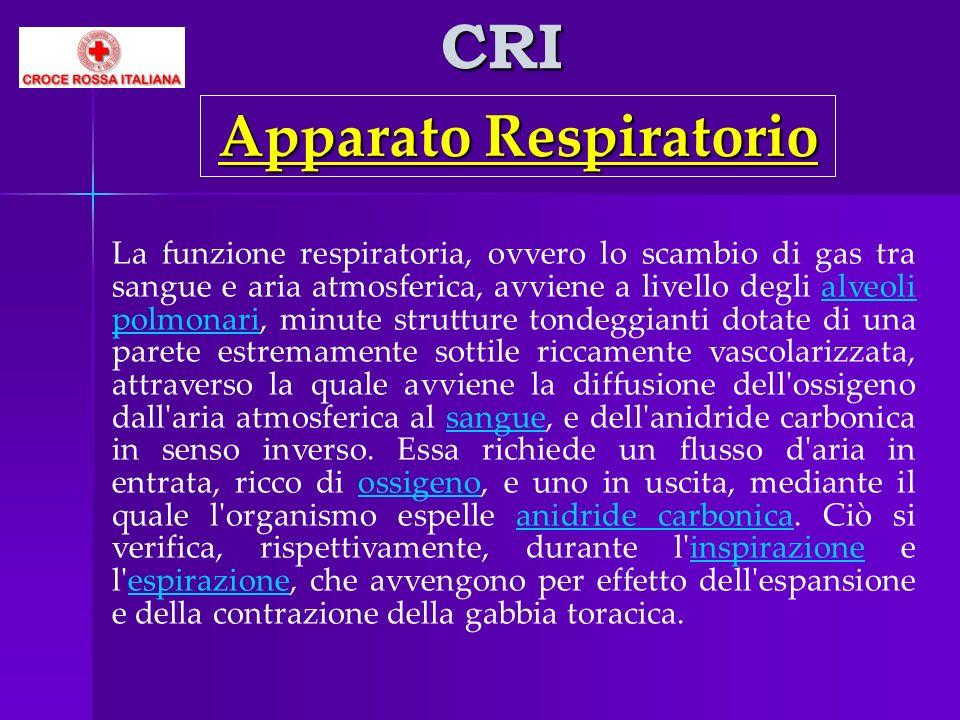 CRI La funzione respiratoria, ovvero lo scambio di gas tra sangue e aria atmosferica, avviene a livello degli alveoli polmonari, minute strutture tond