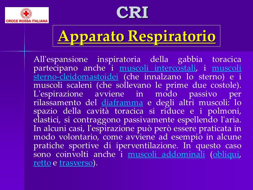 CRI All'espansione inspiratoria della gabbia toracica partecipano anche i muscoli intercostali, i muscoli sterno-cleidomastoidei (che innalzano lo ste