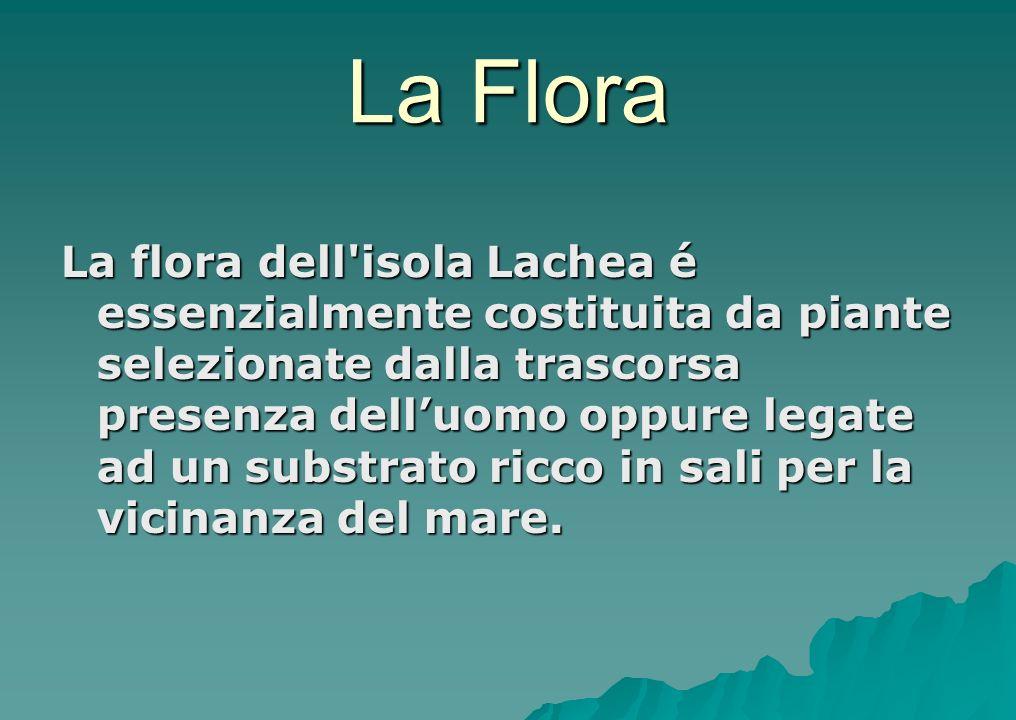 La Flora La flora dell'isola Lachea é essenzialmente costituita da piante selezionate dalla trascorsa presenza delluomo oppure legate ad un substrato