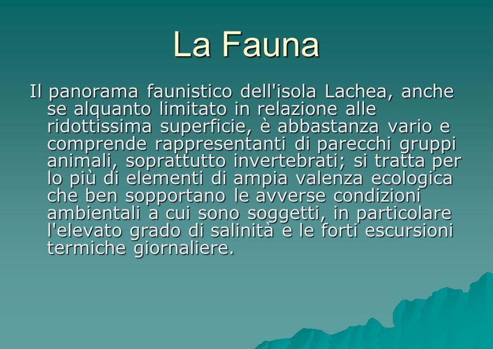 La Fauna Il panorama faunistico dell'isola Lachea, anche se alquanto limitato in relazione alle ridottissima superficie, è abbastanza vario e comprend